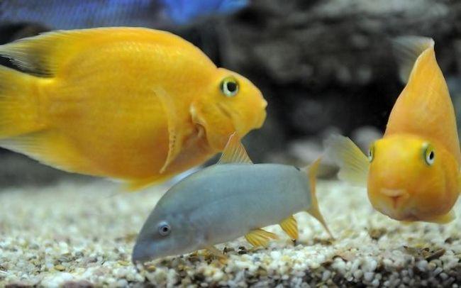 Акваріумні рибки папуги - тропічна краса в нашому домі