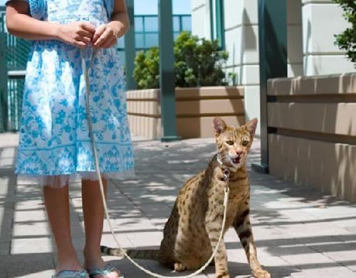 найбільша порода кішки