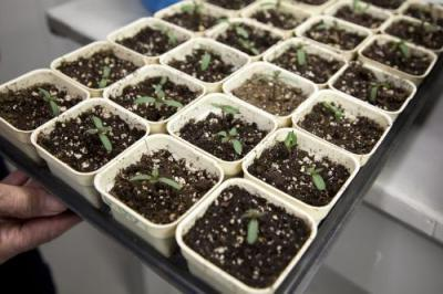 Астра - вирощування з насіння розсади і розведення квітів