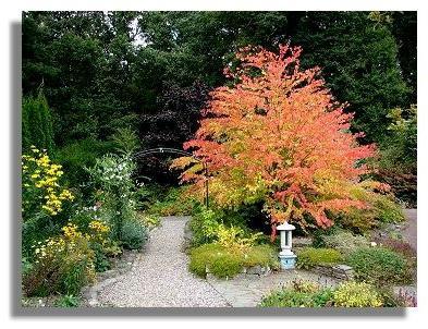 Багряник японський - екзотичне дерево
