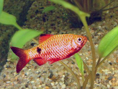 Барбус вогненний - прикраса невеликих акваріумів