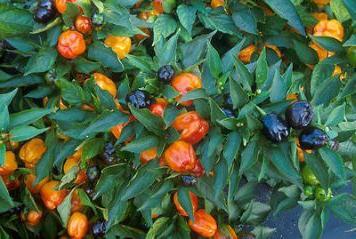 вирощування болгарського перцю