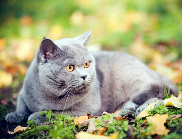 Британські коти характер проявляють завжди