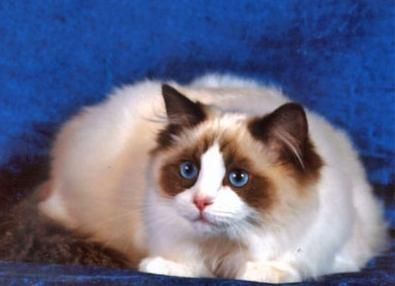 порода кішок регдолл