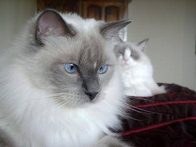 кішки породи регдолл фото