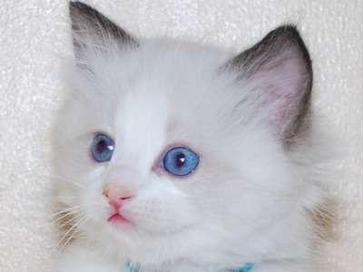 порода кішок регдолл ціна