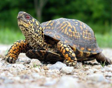 Чим годувати черепах? Поради новачкам