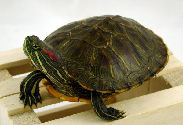 Чим годувати красноухую черепаху?