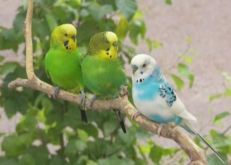 Чим годувати хвилястого папугу і як за ним доглядати