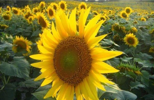 Чим відрізняється олія соняшникова нерафінована від інших рослинних жирів