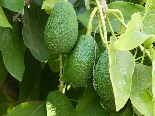 Чим корисний авокадо? Смачні та цінні секрети