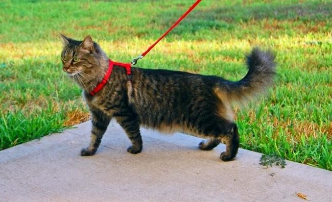 Що таке шлейки для кішок, і навіщо вона потрібна?