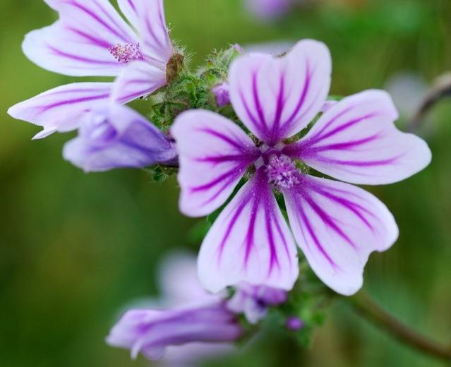 Квіти мальви - декоративна рослина на вашій дачі