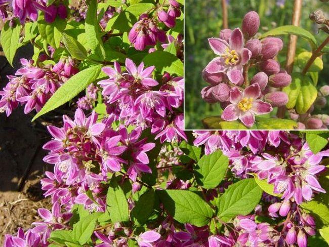 Дейция (чагарник): чарівне декоративна рослина на вашій дачі