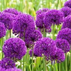 Декоративний лук - цікава рослина для оформлення садів, галявин і газонів