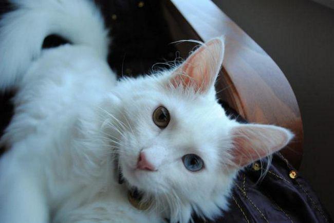 біла довгошерста кішка порода