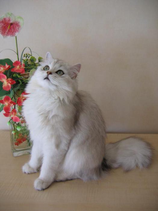 британська довгошерста порода кішок