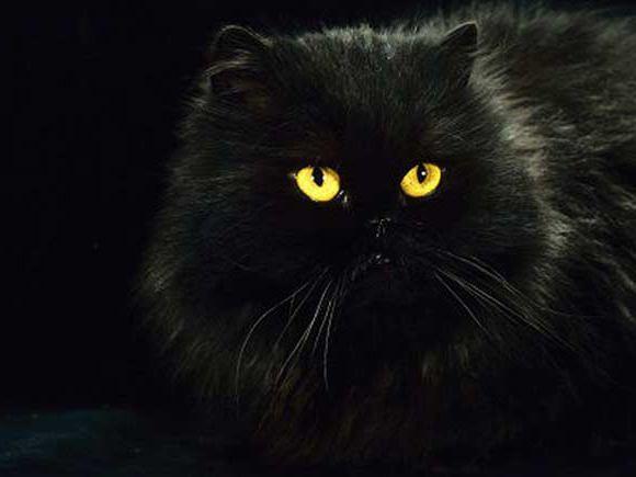 довгошерсті породи кішки