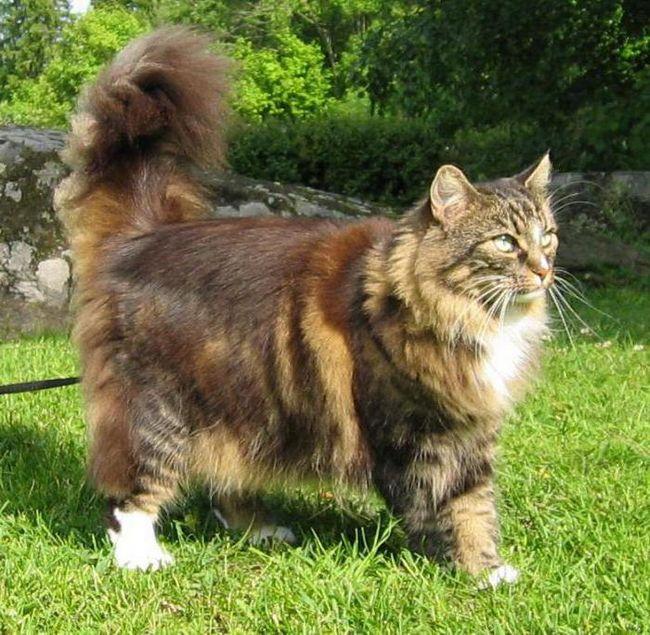 кішки породи британець довгошерсте