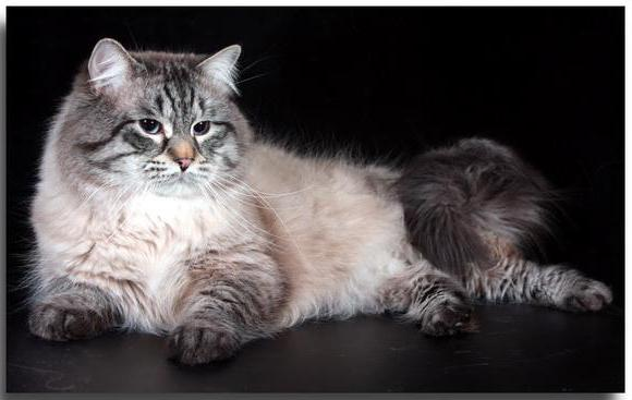 довгошерста сіра кішка порода