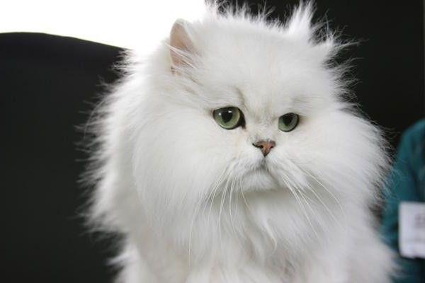 кішка породи шиншила