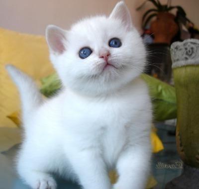 порода кішок шиншила фото