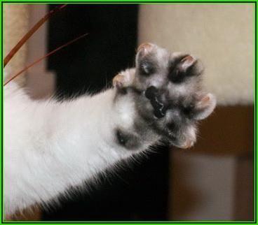порода кішок британська шиншила
