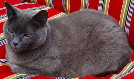 порода кішок блакитна російська