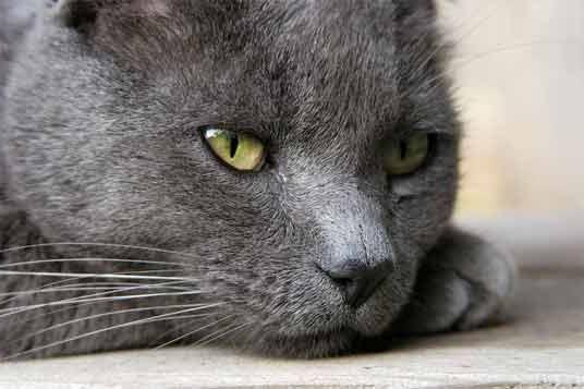 порода кішок російська блакитна фото