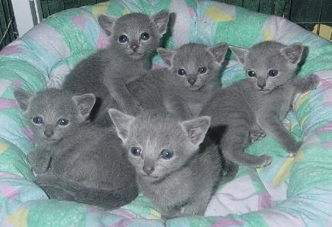 порода кішок російська блакитна ціна