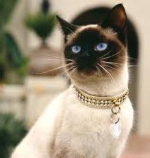 Характер тайської кішки