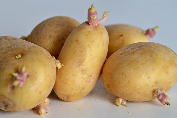 Яровизация картоплі перед посадкою програма мінімум