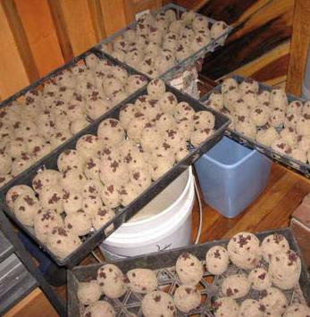 Яровизация картоплі перед посадкою програма максимум