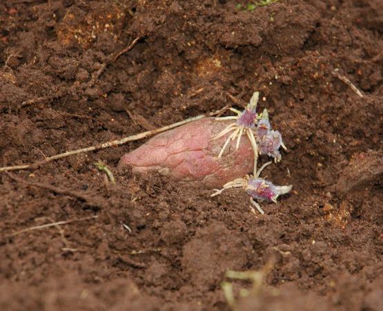 яровизация картоплі перед посадкою в грунт