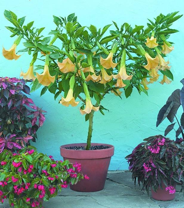 Екзотична бругмансия: вирощування в домашніх умовах