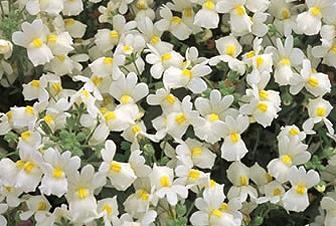 квіти немезія