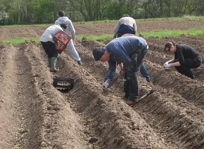 Способи вирощування картоплі