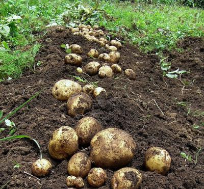 Технологія посадки картоплі