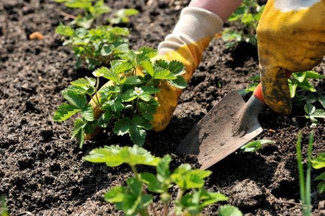 як посадити полуницю