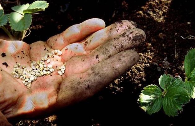 як посадити полуницю насінням