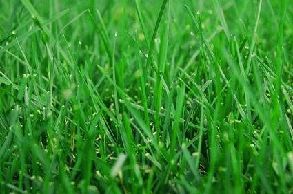 Як посіяти газонну траву самостійно?