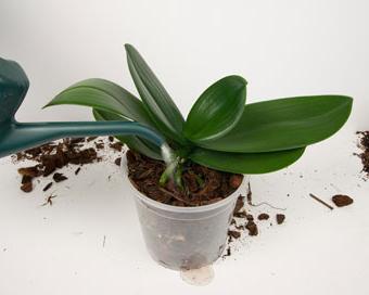 Як правильно поливати орхідеї?