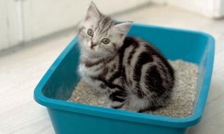 Як привчати кошеня ходити в лоток? Секрети виховання пухнастих вихованців