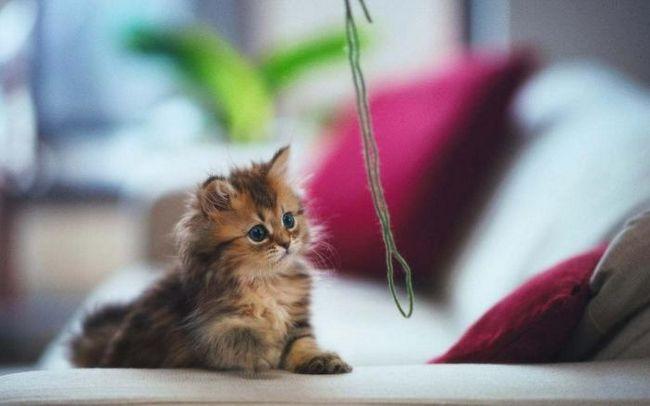 Як виховати кошеня: важливі рекомендації