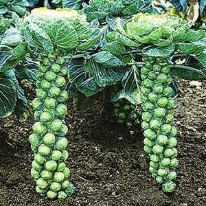 Як виростити брюссельську капусту з максимальним урожаєм