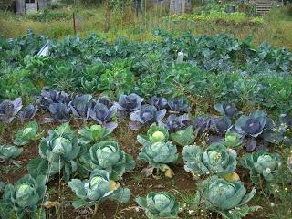 як виростити капусту