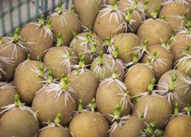 як виростити хорошу картоплю