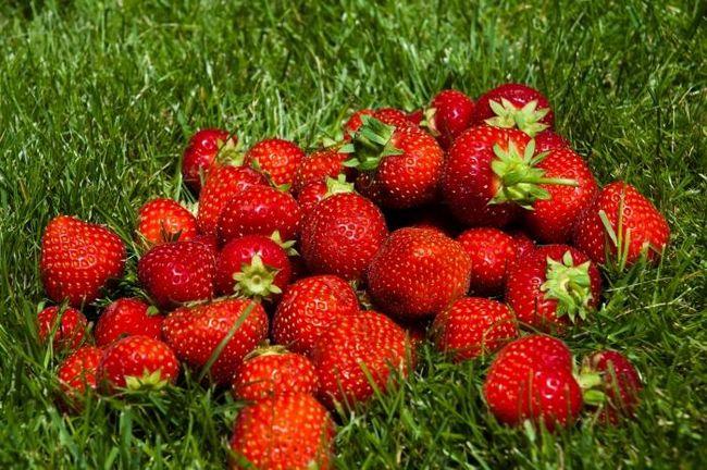 як виростити полуницю з насіння