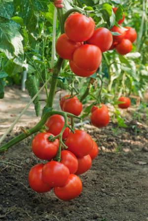 Як виростити томати у відкритому грунті