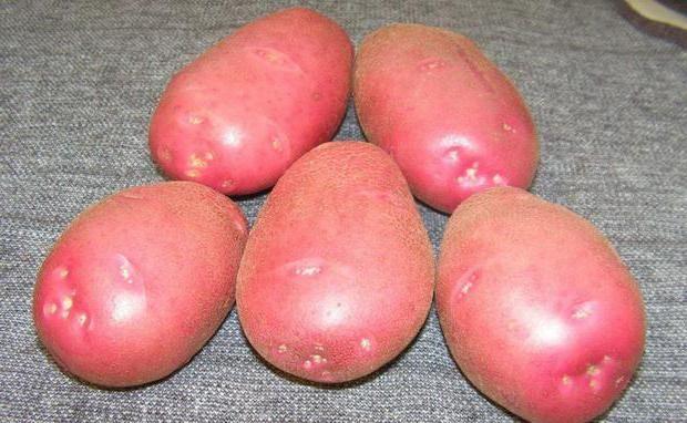 картопля сорт Любава опис сорту